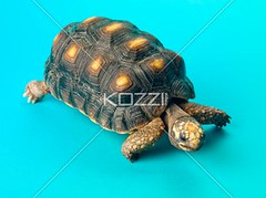 image of a turtle walking (alexphotos8877) Tags: background green rough yellow nature isolated colorimage indoors color nobody animal protection slow tough hard exotic life speed eyes looking studioshot cute photography calm concept wild studio baby walk wildlife armor aquatic pet oneanimal ear walking pets scale adorable animalthemes shell amphibian creature endangered shield species crawling ecosystem crawl reptile hardshell turtle nopeople profile herbivorous animalsinthewild wildanimal aquaticanimal turquoisebackground vertebrate omnivore reptilian coldblooded primal saurian herpetology tortoise carapace reptilan sealife aquaticlife tardy terrapin creep