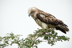 Short-toed Snake Eagle (Rajiv Lather) Tags: camera india nature birds fauna canon lens photography photo image wildlife indian birding pic aves telephoto photograph raptor monsoon dslr predator birdwatching eagles birder rajasthan rains bharat ajmer avifauna birdwatcher accipiter sarwar falconiformes circaetusgallicus accipitridae birdphotography snakehunter shorttoedsnakeeagle shonkhaliya