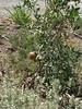 Organic Pomegrante Plant