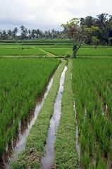 (kuuan) Tags: bali indonesia rice pentax mf smc manualfocus 30mm smcf2830mm iecefield