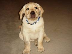 7915358704 79d2b7af1f m Hercules, Photos of my fun Yellow Labrador
