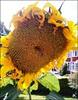Battered and Bruised ... (** Janets Photos **) Tags: uk flowers rain yellow wind yorkshire sunflower masterphotos takenwithlove mindigtopponalwaysontop lovelyflickr
