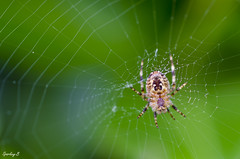 Come on over to my place...... (sparkeyb) Tags: macro green net dinner insect spider nikon web sticky arachnid eat meal prey feed 40mm capture arachnophobia trap araneusdiadematus europeangardenspider 8leggedmonster d7000 comeonovertomyplace sparkeyb