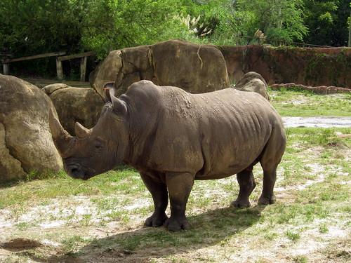 Tampa - Busch Gardens - Rhino Rally - Rhinoceros