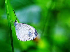 The wings (xeno(x)) Tags: white macro green nature canon butterfly garden wings backyard asia 2012 xeno 5d3