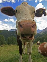 Koe (FotoLuik) Tags: canon austria kuh cow oostenrijk tokina alm 1224 koe 30d pongau zauchensee salzburgerland