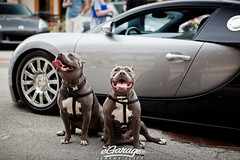 pitbulls guarding Bugatti Veyron (eGarage.com) Tags: bugatti pitbulls veyron guarddogs egarage jeremycliff
