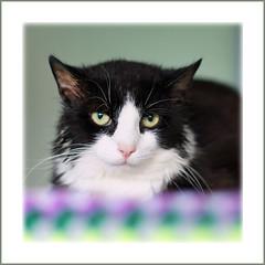 Smile?  Why? (hehaden) Tags: blackandwhite rescue face cat square sad kitty tuxedo