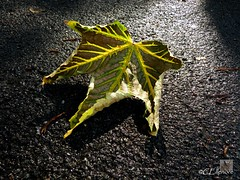 Platanenblatt  / sycamoreleaf (Ellenore56) Tags: light inspiration color colour detail reflection texture leaves rain weather tarmac plane licht morninglight photo leaf focus pattern foto rainyday emotion magic laub perspective struktur structure september foliage fabric sycamore vista imagination greenery outlook framework moment asphalt blatt magical farbe reflexion lightshadow bitumen rainfall regen wetter perspektive reflektion morningsun morgensonne regentag augenblick fokus rainday platane morgenlicht textur faszination intherain lichtschatten blattwerk sycamoreleaf laubwerk sycamoreleaves platanenblatt panasonictz7 ellenore56 14092012