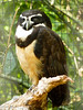 Que sono gostoso... (Marney Queiroz) Tags: parque do aves ave coruja das foz iguacu queiroz marney panasonicfz35 marneyqueiroz