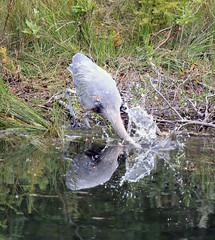 Great Blue Heron Fishing (K Fletcher) Tags: blue canada calgary bird heron fishing great alberta