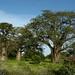 Chegamos na Angola, terra de muita Baobab
