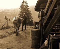 coming home with cow enzian (Farmerbaer) Tags: rural alp rubberboots rugged gummistiefel landleben stocky braunvieh schweizerbauer swissfarmhand