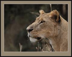 You have my attention! (Rainbirder) Tags: africanlion pantheraleo nairobinationalpark rainbirder