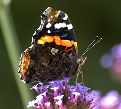 Red Admiral on Verbena (pike head) Tags: uk red england southwest flower macro butterfly garden wildlife olympus devon torquay admiral hdr torbay southdevon e520 oloneo unlimitedinsectslevel1 unlimitedinsectslevel2 unlimitedinsectslevel3 unlimitedinsectslevel4