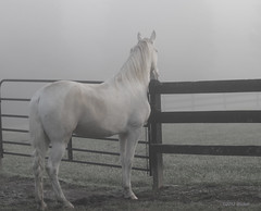 Sam (vmax4coco) Tags: horse fog spots pasture gelding spottedsaddlehorse