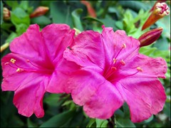 DSCF5662-1 (redailia1) Tags: topshots mixedflowers fantasticnature flowersarebeautiful excellentsflowers natureselegantshots mimamorflowers flickrflorescloseupmacros panoramafotogrfico thebestofmimamorsgroups theoriginalgoldseal hennysgardens