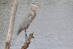 elegant hunter (christiaan_25) Tags: blue bird feet heron water grey pond eyes beak feathers large september explore fisher perch 100th tall 135 greatblueheron sunfishpond mortonarboretum ardeaherodias wader familyardeidae orderpelecaniformes sept242012