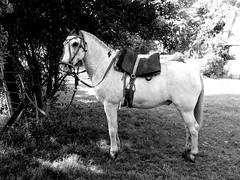 El Yacare overo (Dani Gidale) Tags: caballo recado overo