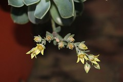 Dainty little flowers on a succulant (Pixi2011) Tags: flowers flora succulant