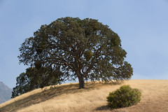 tree (pandeesh89) Tags: state park trees mount diablo forest walnut creek local visits california east bay nature beauty green