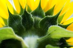 sun ~ flower (mariola aga ~ vacatiON) Tags: summer flower sunflower macro closeup yellow green underneath
