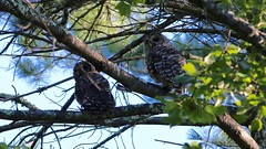 barred owls (quadceratops) Tags: massachusetts nature middlesex county barred owl