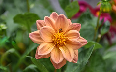 bug selfie (Dotsy McCurly) Tags: bug selfie eating looking dahlia flower plant nature beautiful nikon d750 dof bokeh nj
