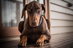 Carly (Joep Buijs Photography) Tags: dobermann australia pets dog friend