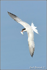 Fresh fish (Earl Reinink) Tags: tern commontern fish earl reinink earlreinink birdphotography nikon nikond5 niagara