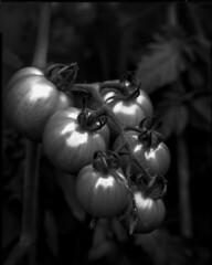 Green tomatoes (Theolde) Tags: lf 8x10 film ilford delta100 sinarp2