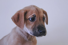 Tiffany the 9 Week Old Adoptable Shepherd / Labrador Mix (Immature Animals) Tags: tiffany shepherd young female furry puppy pup canine dog snout tucson arizona petco