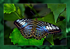 Parthenos sylvia Butterfly    (Butterfly Garden in the castle park: Sayn Bendorf) (scorpion (13)) Tags: parthenos sylvia butterfly insect nature color frame photoart creativ experimental plant summer sun day trip visitbutterfly garden castle park sayn bendorf