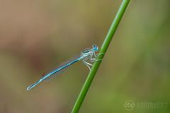 White-legged Damselfly (chrisbutton68) Tags: dragonflies whiteleggeddamselfly wildlife workinprogress