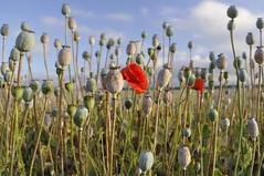 Dorset filtered 219/366 (dawn.v) Tags: polarisingfilter nikon dorset uk england summer 2016 august 366daysin2016 2016yip poppies poppyfield bereregis opiumpoppies