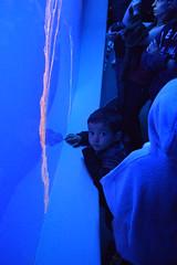 DSC_0007 (rlnv) Tags: california centralcoast monterey montereybayaquarium aquarium nikond3300 1855mmf3556gvrii toms animal jellyfish