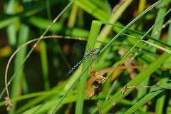 Emperor Dragonfly (Duncan.B) Tags: wwtbarnes wildlife london barnes samsungnx samsung nx10 maleemperordragonfly emperordragonfly dragonfly