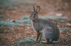 Cottontail (Chris Mourra) Tags: rabbit cottontail bunny nature wildlife canonphotograhy canon canon6d texas summer morning southtexas ranch farm small animals brown black grey ears vsco vscophoto canonphotos