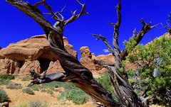 twisted wood... (Baja Juan) Tags: arches national park dead trees rock formations blue skies twisted wood desert plants life hdr baja