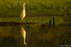 Hron cendr (christophe.perraud.44310) Tags: nature levdesoleil oiseau hron wildlife marais reflet saintphilbertdegrandlieu