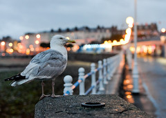Where Seagulls Dare (Martzimages) Tags: martzimages gull seagull bokeh fence friday dark lights llandudno sea