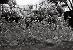 (lemonhats) Tags: asahipentaxsp spotmatic smctakumar2835 marumimcy2 orientalseagull400 1250 f35 classiccamera vintagecamera mechanicalslr classiclens vintagelens 28mmf35 m42 screwmount primelens wideprime yellowfilter iso400 35mmfilm blackandwhite printfilm traditionalphotography analoguephotography filmphotography filmisnotdead filmisalive shootfilm believeinfilm filmcommunity fpper walking hikarigaoka nerimaku tokyoto japan springtime vegetation