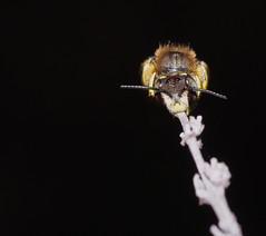 Hymenoptera  Megachilidae : Anthidium sp.? (Ihagee86) Tags: fujifilmfinepixs5pro fujifilms5pro fujifilm fuji micronikkor55mmais micronikkor macrolife macrophotographie nikkor nikon proxyphotographie hymenoptera hymnoptre poitiers vienne