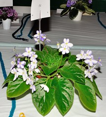 New Hybrid 'F4' (MJI Photos (Mary J. I.)) Tags: avsminnesota avsm africanviolet africanvioletsociety flowers statefair mn minnesota minnesotastatefair2016 flowershow blooming houseplants show plants plantshow twincitiesgesneriads gesneriads saintpaulia gesneriad statefairfriday dsc4006