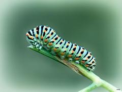 Oruga (candi...) Tags: oruga gusano colores invertebrado rama bosque naturaleza macro macrofotografia sonya77