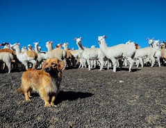 Day 515. Met this sheppard dog amid the alpacas. #theworldwalk #travel #peru