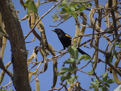 DSC06418 (familiapratta) Tags: sony dschx100v hx100v iso100 natureza pssaro pssaros aves nature bird birds montesio montesiomg brasil