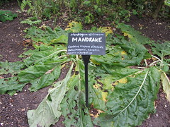 Chenies Manor House (boudica2008) Tags: physicgarden mandrake
