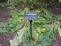 Chenies Manor House (boudica2008) Tags: physicgarden mandrake