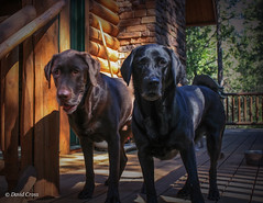 Two Dogs (buffdawgus) Tags: blacklab brownlab california canon1855mmis canonrebelxti chocolatelab dogs earlymorning labradors lightroom5 miles milestessa northerncalifornia sierranevadafoothills suttercounty tessa topazsw volcano